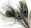Picture of Peacock Eye Feather #3713